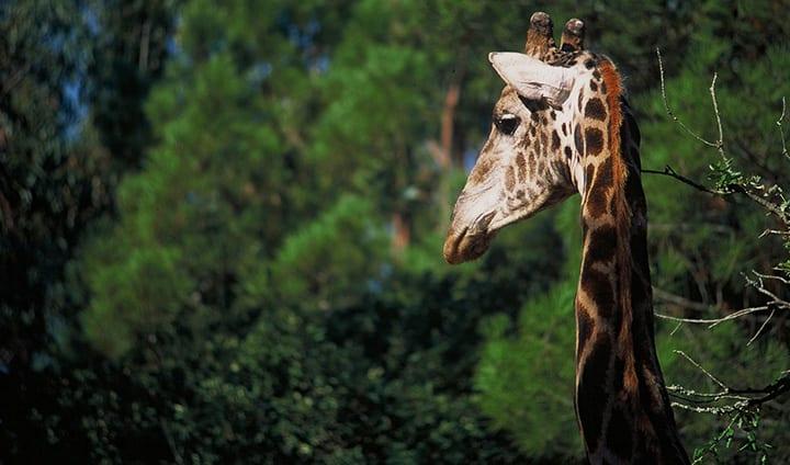 girafa safari park