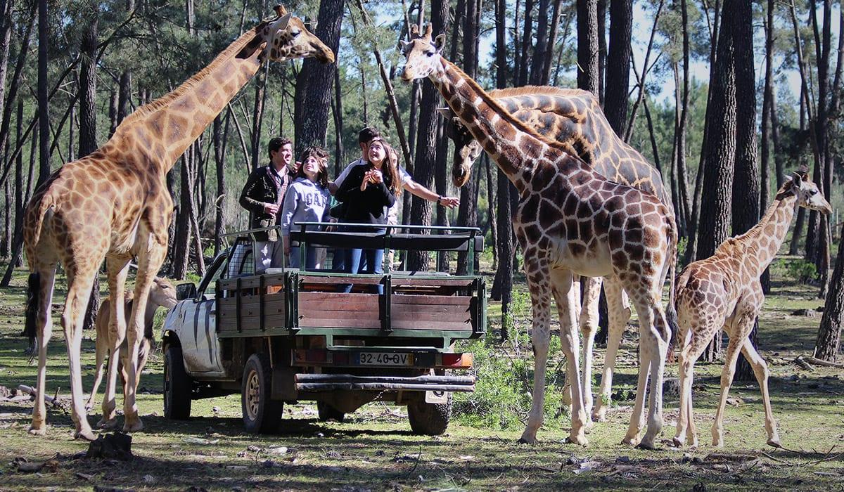 girafas badoca park