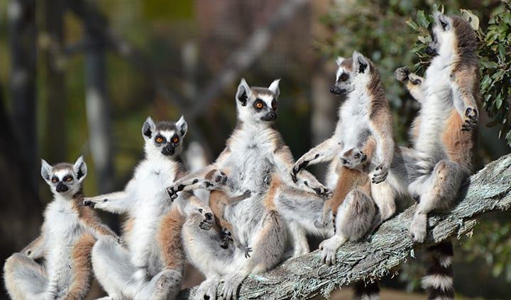 lemures badoca safari park