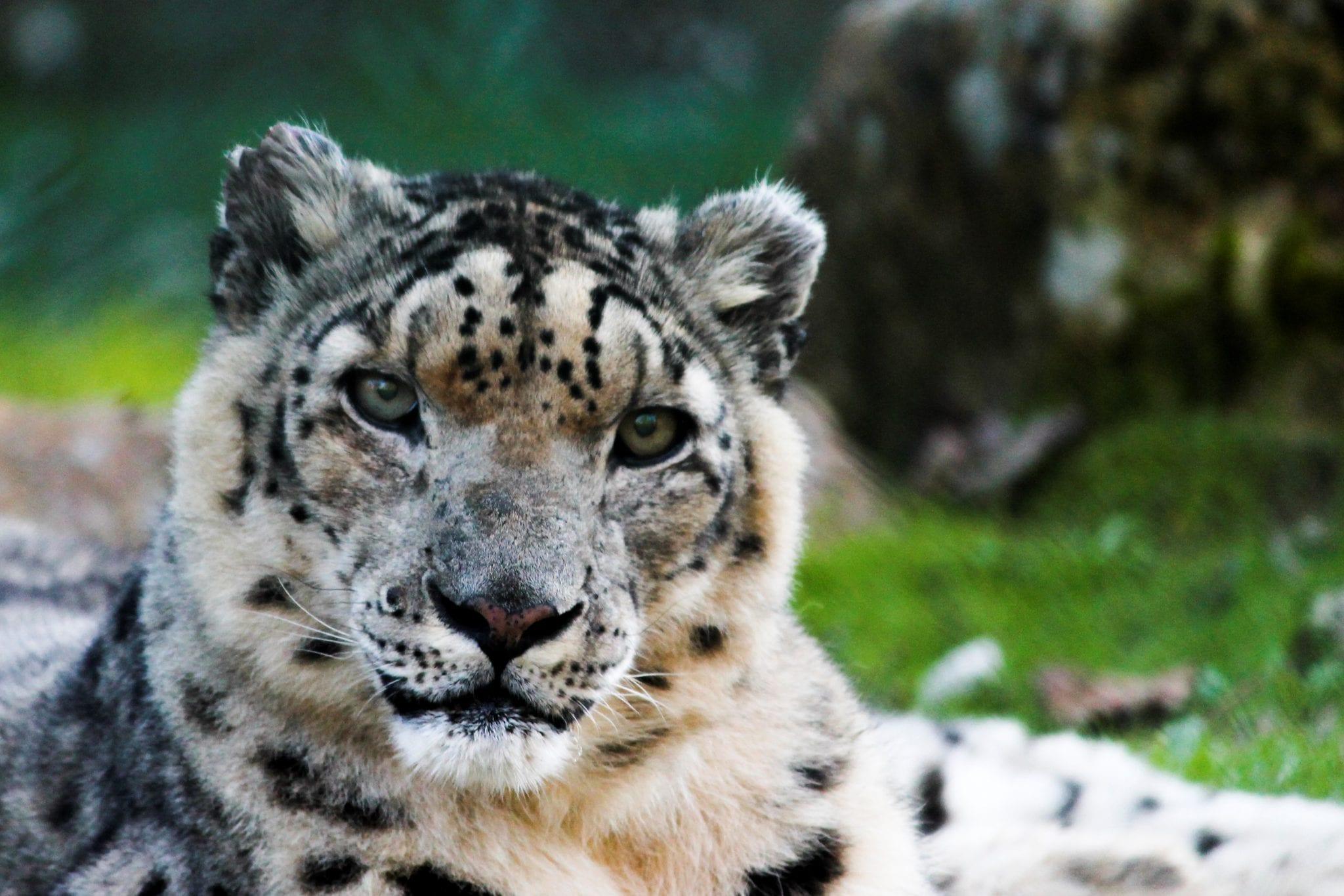 pantera das neves zoo santo inácio