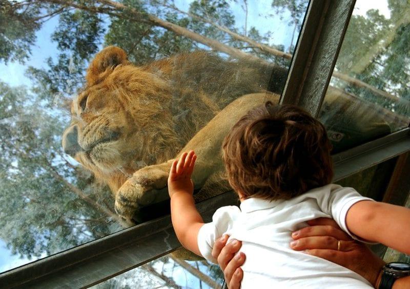 leões asiáticos
