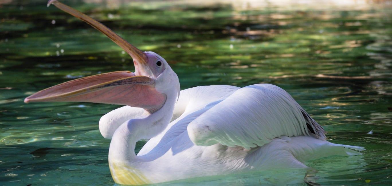 alimentação pelicanos