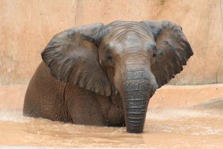 Animal Mês Maio  Elefante-africano