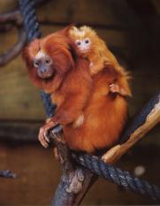 Animal mês Outubro: Mico-leão-dourado