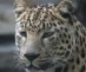Esperanca Leopardo Amur