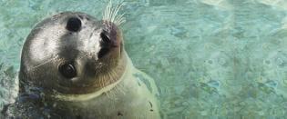 Foca-comum: animal mês Agosto Jardim Zoológico
