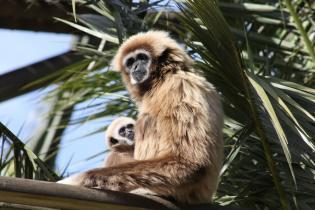 Jardim Zoológico celebra chegada nova cria Gibão-de-mãos-brancas