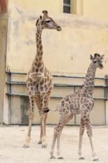 Jardim Zoológico celebra Dia Mãe nascimento nova cria girafa