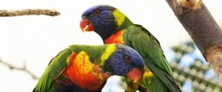 Jardim Zoológico Lório-arco-íris - Animal Mês Abril