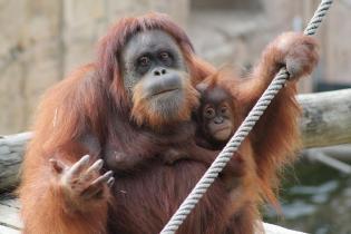 Jardim Zoológico Orangotangos São Valentim