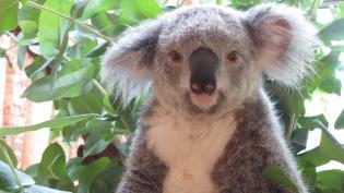 Jardim Zoológico TAP unidos pela conservacão Koalas