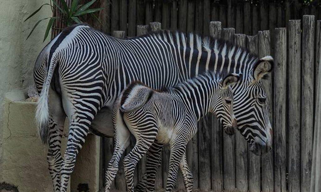 Nova Cria de Zebra_Dia dos Avós_Dia da Conservação_Jardim Zoológico_5