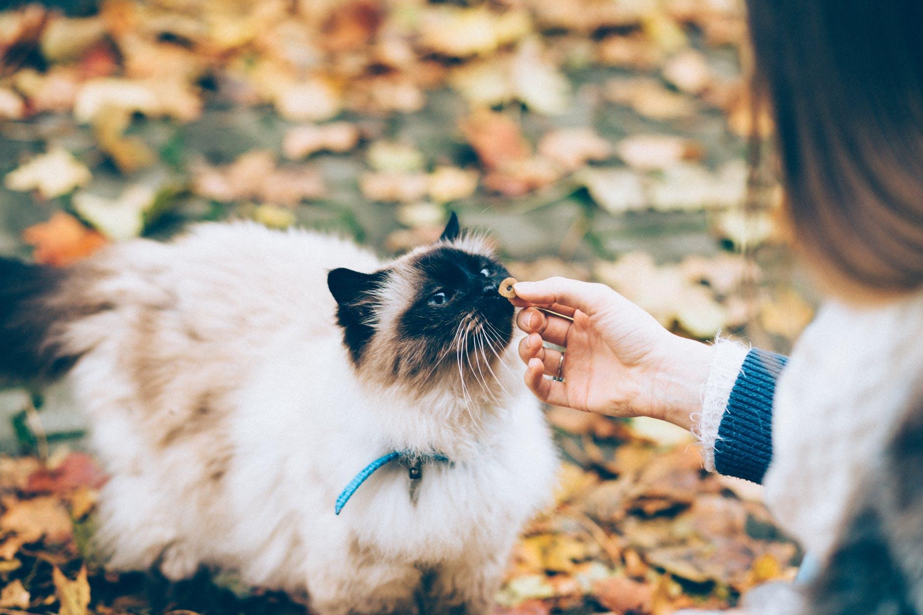 toxoplasmose - grávida com gatinho