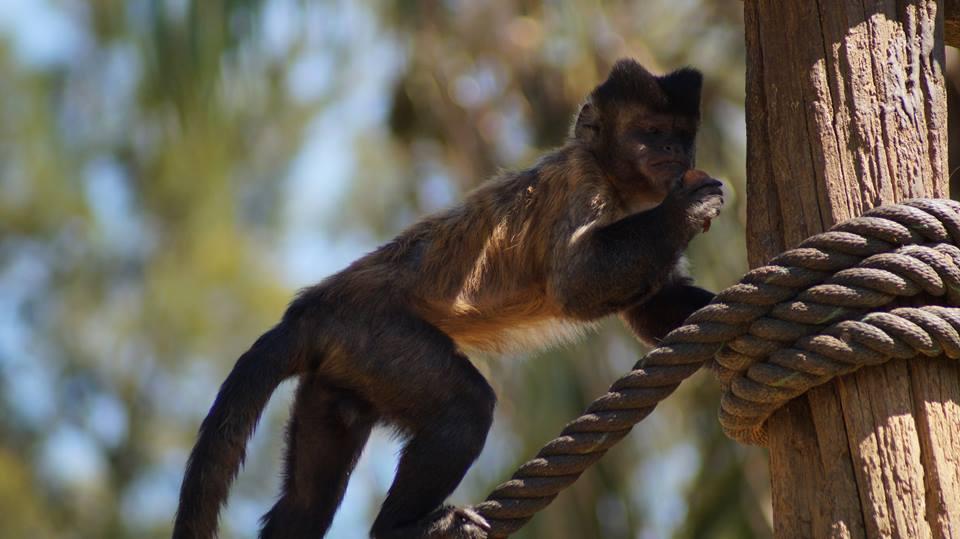 macaco capuchinho
