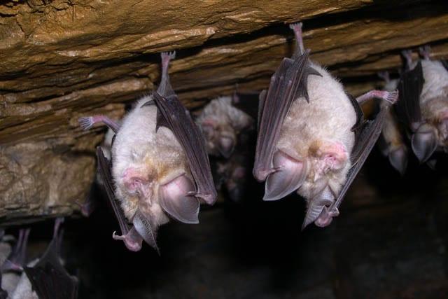 morcegos serra aires candeeiros