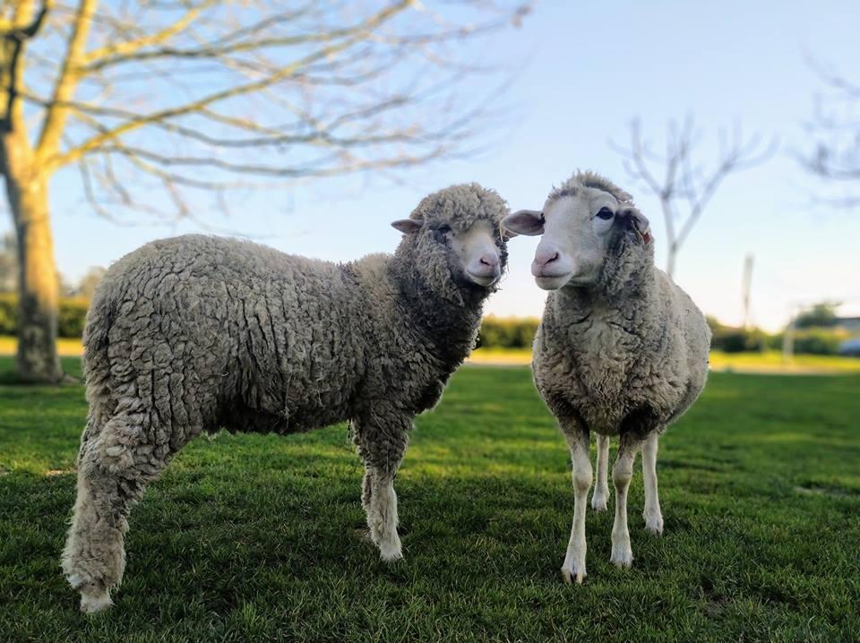 ovelhas quinta pedagógica de aveiro