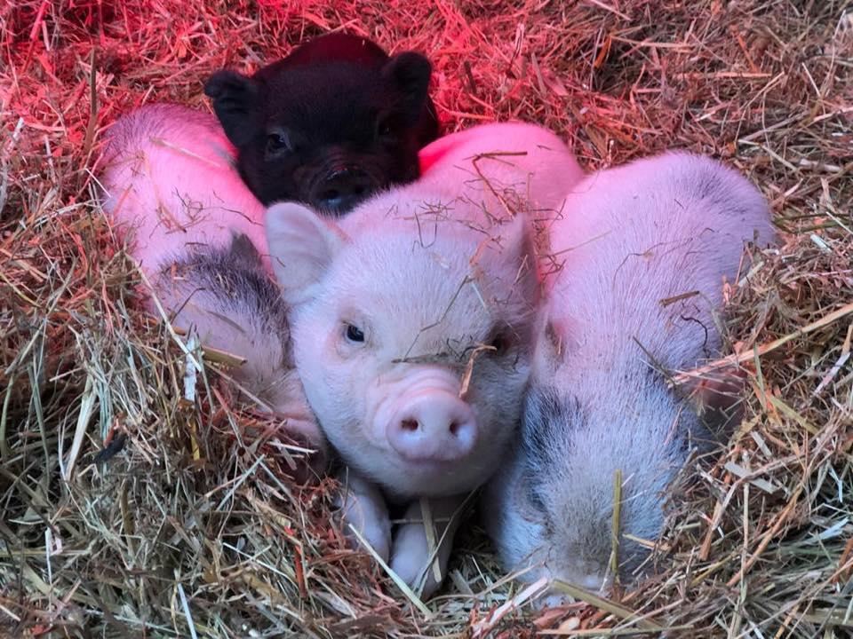 porquinhos quinta pedagógica santa isabel