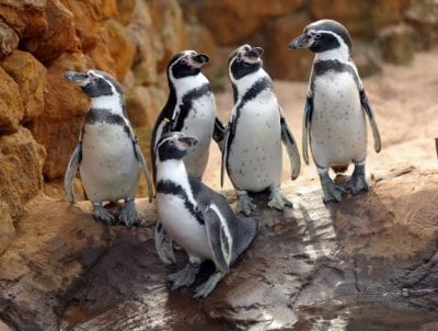 Pinguins SEA LIFE Porto 2019