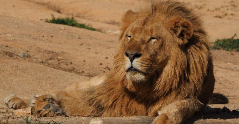 Celebrem o Dia Mundial do (Rei) Leão no Jardim Zoológico!