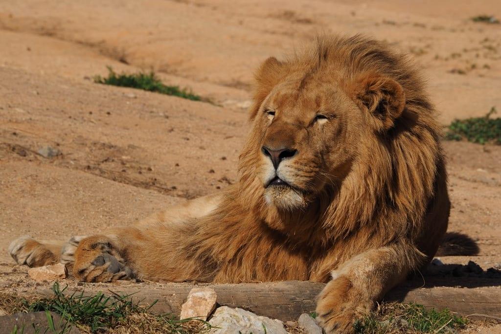 Dia Mundial Leão Zoo Lisboa