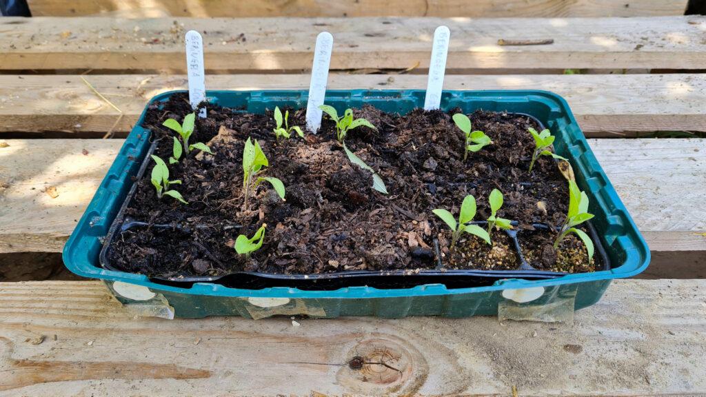 horta urbana beringela sementeira