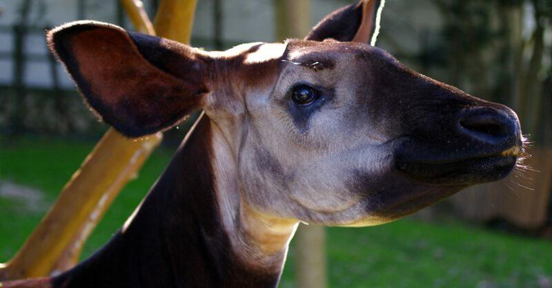 Vamos conhecer o Okapi!